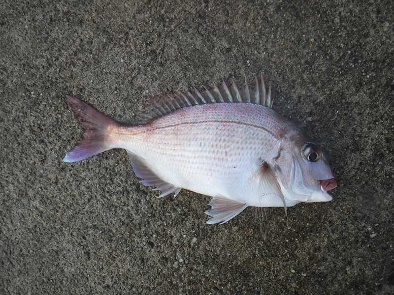 女木島で釣った真鯛