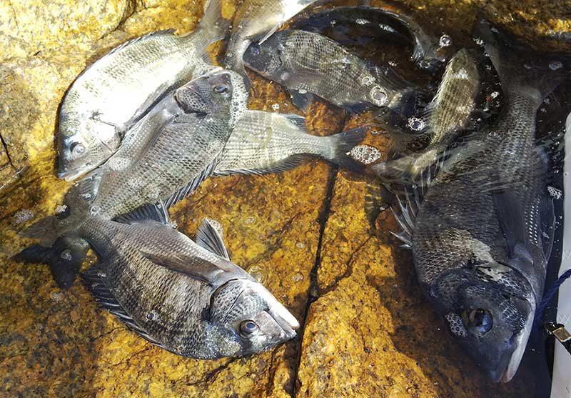 下津井沖本島のチヌの釣果
