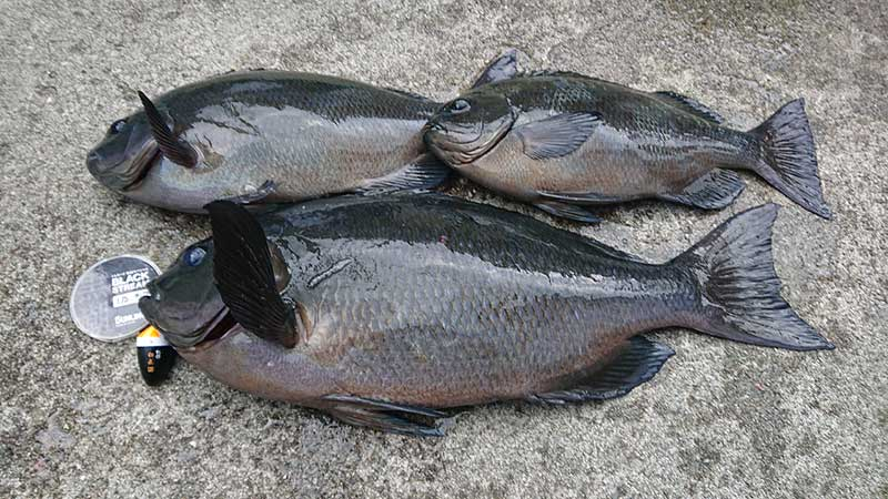 日振島の釣果