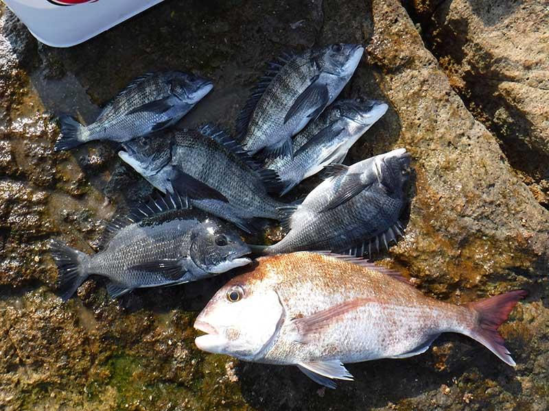 牛窓 黃島 チヌとマダイ釣果