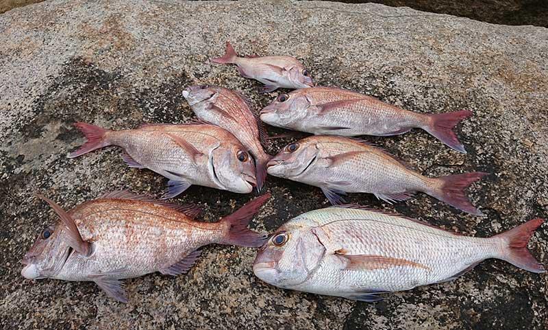 イチノソワイ 釣果 真鯛