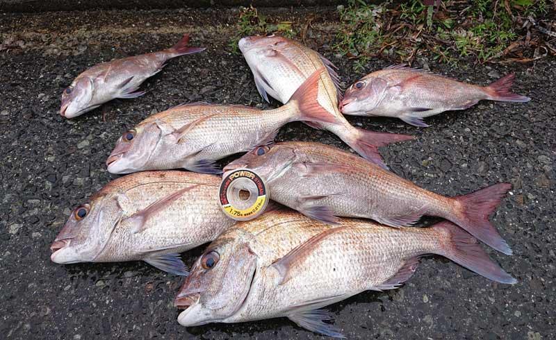 真鯛の釣果