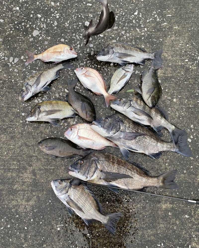 周防大島 チヌ釣果